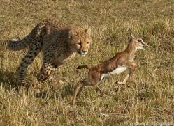 cheetah-copyright-photographers-on-safari-com-7941