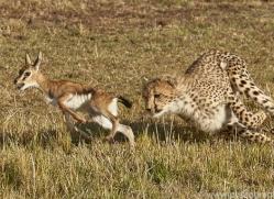 cheetah-copyright-photographers-on-safari-com-7942
