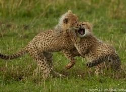 cheetah-copyright-photographers-on-safari-com-7943