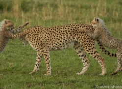 cheetah-copyright-photographers-on-safari-com-7944