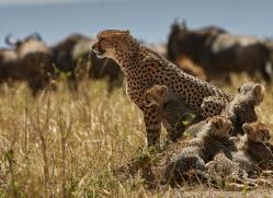 cheetah-copyright-photographers-on-safari-com-8437