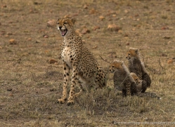 cheetah-masai-mara-1521-copyright-photographers-on-safari-com
