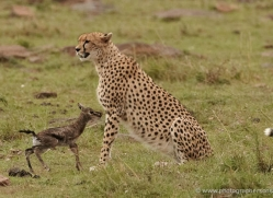 cheetah-masai-mara-1523-copyright-photographers-on-safari-com