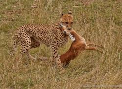 cheetah-masai-mara-1525-copyright-photographers-on-safari-com