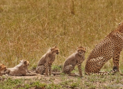 cheetah-masai-mara-1527-copyright-photographers-on-safari-com