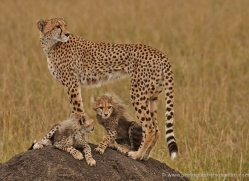 cheetah-masai-mara-1529-copyright-photographers-on-safari-com