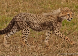 cheetah-masai-mara-1530-copyright-photographers-on-safari-com