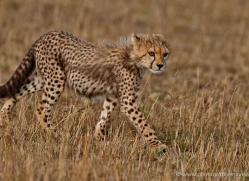 cheetah-masai-mara-1531-copyright-photographers-on-safari-com