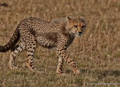 cheetah-masai-mara-1532-copyright-photographers-on-safari-com