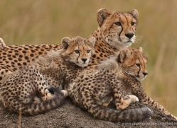 cheetah-masai-mara-1533-copyright-photographers-on-safari-com