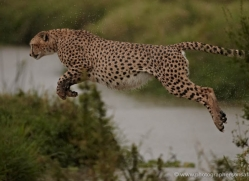cheetah-masai-mara-1535-copyright-photographers-on-safari-com