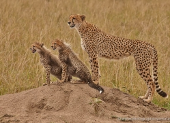 cheetah-masai-mara-1537-copyright-photographers-on-safari-com