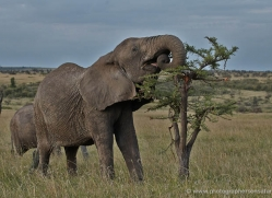 elephant-masai-mara-1638-copyright-photographers-on-safari-com