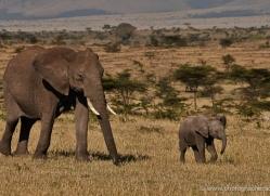 elephant-masai-mara-1639-copyright-photographers-on-safari-com