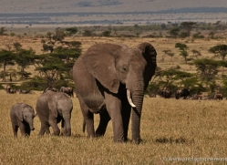 elephant-masai-mara-1640-copyright-photographers-on-safari-com