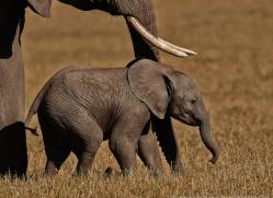 elephant-masai-mara-1644-copyright-photographers-on-safari-com