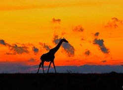 giraffe-copyright-photographers-on-safari-com-7946