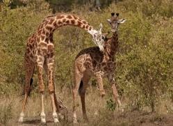 giraffe-masai-mara-1662-copyright-photographers-on-safari-com