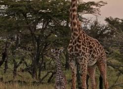 giraffe-masai-mara-1664-copyright-photographers-on-safari-com