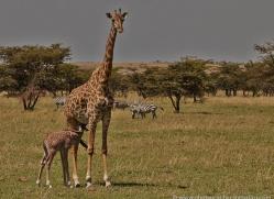 giraffe-masai-mara-1665-copyright-photographers-on-safari-com