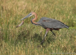 goliath-heron-masai-mara-1712-copyright-photographers-on-safari-com