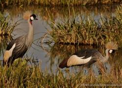 grey-crowned-crane-masai-mara-1710-copyright-photographers-on-safari-com