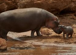 hippopotamus-copyright-photographers-on-safari-com-7947
