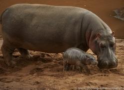 hippopotamus-copyright-photographers-on-safari-com-7948