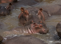 hippopotamus-masai-mara-1691-copyright-photographers-on-safari-com