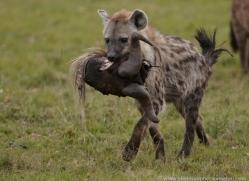 hyaena-masai-mara-1660-copyright-photographers-on-safari-com