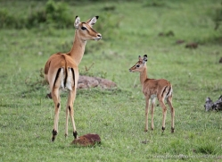 impala-masai-mara-1694-copyright-photographers-on-safari-com