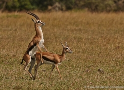 impala-masai-mara-1696-copyright-photographers-on-safari-com
