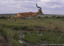 impala-masai-mara-1697-copyright-photographers-on-safari-com