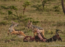 jackal-masai-mara-1707-copyright-photographers-on-safari-com