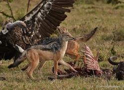 jackal-masai-mara-1709-copyright-photographers-on-safari-com