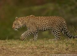 leopard-copyright-photographers-on-safari-com-8440