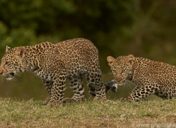 leopard-copyright-photographers-on-safari-com-8442