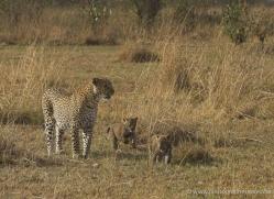 leopard-cubs-masai-mara-1589-copyright-photographers-on-safari-com