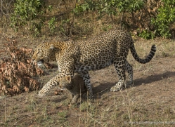 leopard-cubs-masai-mara-1590-copyright-photographers-on-safari-com