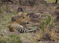 leopard-masai-mara-1591-copyright-photographers-on-safari-com