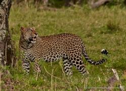 leopard-masai-mara-1592-copyright-photographers-on-safari-com