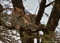 leopard-masai-mara-1593-copyright-photographers-on-safari-com