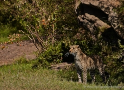 leopard-masai-mara-1594-copyright-photographers-on-safari-com