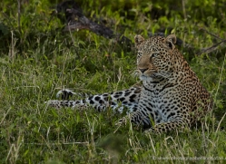 leopard-masai-mara-1595-copyright-photographers-on-safari-com