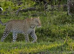 leopard-masai-mara-1596-copyright-photographers-on-safari-com