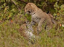 leopard-masai-mara-1599-copyright-photographers-on-safari-com