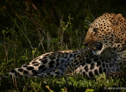 leopard-masai-mara-1600-copyright-photographers-on-safari-com