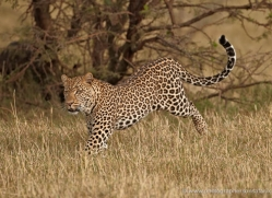 leopard-masai-mara-1602-copyright-photographers-on-safari-com