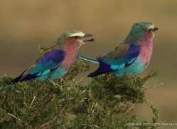 lilac-breasted-roller-masai-mara-1693-copyright-photographers-on-safari-com