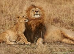 lion-copyright-photographers-on-safari-com-7952